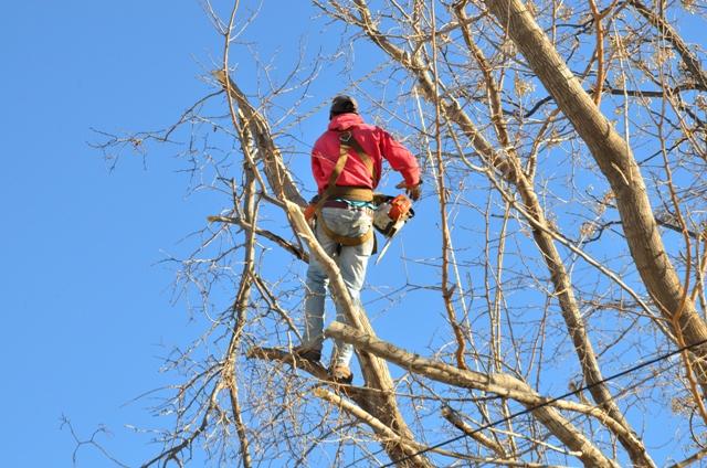 Poda de árboles en Medrano